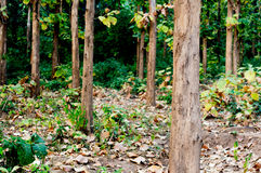 Trees leading to a dense forest Royalty Free Stock Photo