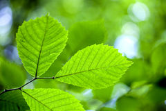 Trees leaf. Forest trees leaf. nature green wood sunlight backgrounds Stock Photography