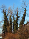 Trees with leafy trunks. Low angle view of trees with leafy trunks, blue sky background Stock Images