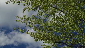 Trees and leaves against the blue sky. Nature begins to blossom. Spring.  stock footage
