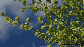 Trees and leaves against the blue sky. Nature begins to blossom. Spring.  stock video footage