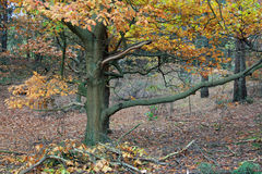 Trees with leaves with autumn colors in the forest. Trees in the forest with with colored leaves, autumn royalty free stock images