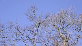 Trees without leaves with blue sky background stock video footage