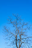 Trees. Without leaves, blue sky background Stock Photos