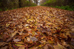 Trees and leaves. European native forests in autumn collors Royalty Free Stock Photo