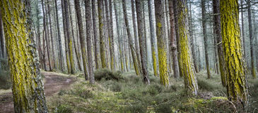 Trees and Lichen at Dores Forest in Scotland. Lichen on Pine at Dores forest by Loch Ness in the Scottish Highlands Royalty Free Stock Photography