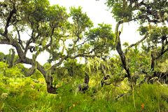Trees with lichens and epiphytes in mountain rainforest of Tanzania royalty free stock image