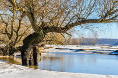 Trees with lichens mirrored in lake in winter Royalty Free Stock Image