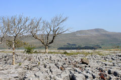 Free Trees, Limestone Pavement And Whernside Yorkshire Royalty Free Stock Image - 25033306