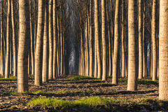 Trees in line inside forest Royalty Free Stock Photos