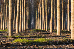 Trees in line inside forest Royalty Free Stock Image