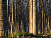 Trees in line inside forest Royalty Free Stock Photography