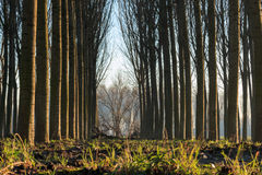 Trees in line inside forest Stock Images