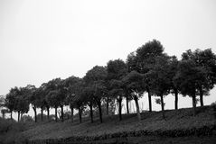 Trees line in road side. Black and white Royalty Free Stock Photos