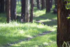 Trees lining curved path Royalty Free Stock Photo