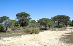 Trees located in the dunes Stock Photography