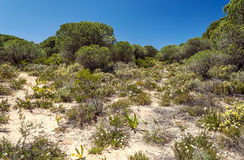 Trees located in the dunes Royalty Free Stock Images