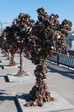 Trees with locks of lovers on  trees at Bolotnaya Royalty Free Stock Photo
