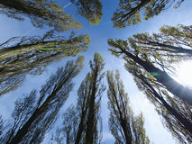 Trees looking towards sky. With wide angle lens Royalty Free Stock Photography