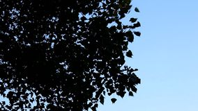 Trees with a lot of leaves blow in strong wind. Nice blue sky background, view from below stock footage