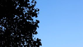 Trees with a lot of leaves blow in strong wind. Nice blue sky background, view from below stock video