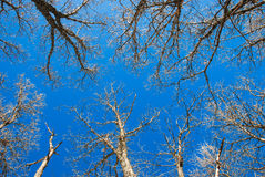 Trees. Low angle of trees with blue sky Royalty Free Stock Image