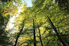 Trees from a low angle in Switzerland. Beautiful forest view from a low angle Stock Images