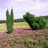Trees in Lueneburg Heath Stock Image