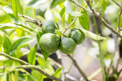 Trees with mandarin green Stock Photo
