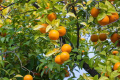 Trees with mandarinas typical in the Sevilla, Spain Royalty Free Stock Images