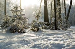 Trees mantled with rime frost and bushes Stock Image