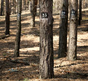Trees marked for cutting down Royalty Free Stock Images