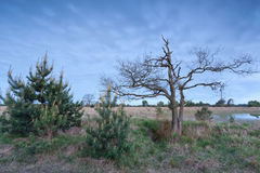Trees on marsh in dusk Royalty Free Stock Photo