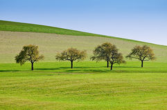 Trees on a Meadow. In a Row Royalty Free Stock Image