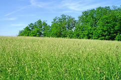 Trees and meadow Royalty Free Stock Photography