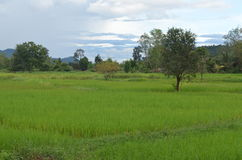 Trees and meadows. Within rural,thailand Royalty Free Stock Photos