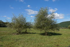 Trees in a middle of a grass field Royalty Free Stock Photography