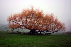 Trees in the mist. A tree stands clear in the early morning fog Stock Photography
