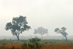 Trees in mist Royalty Free Stock Photo