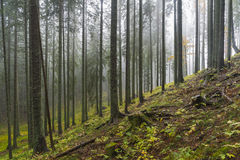 Trees in mist. Trees in a misty forest Stock Image