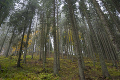 Trees in mist. Trees in a misty forest Stock Photo