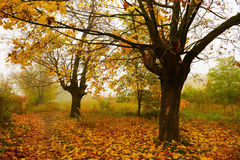 Trees in the mist. Colorful trees in the mist in fall royalty free stock image
