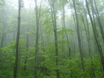 Trees in the mist. Mist and fog surround these trees on the Appalachian trail in Vermont Stock Image