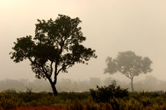 Trees in mist, Kruger Park, South Africa. Trees in mist, early morning, Kruger National Park, South Africa royalty free stock images