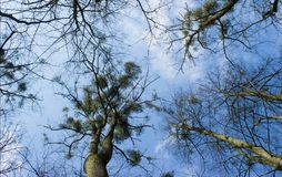 Trees with mistletoe blue sky and white clouds. Trees with mistletoe on the background is blue sky and white clouds stock images