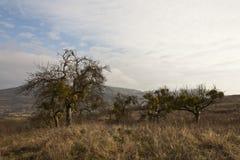 Trees with mistletoe Stock Photos