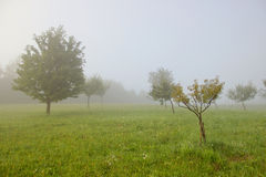 Trees on Misty Meadow Stock Photo