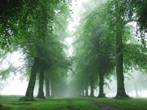 Trees in morning fog. Alley with old trees in Clumber Park, Nottinghamshire, England. Close to the famous Robin Hood's Sherwood Forrest Royalty Free Stock Photography