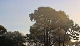 Trees in morning fog. Large trees with blue sky in the early morning fog Royalty Free Stock Photography