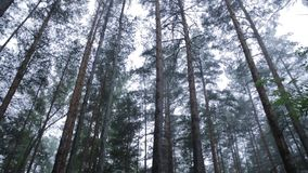 Trees in morning fog. A dark forest lane with trees early in the morning. Foggy forest with brown bear hidden in the stock video